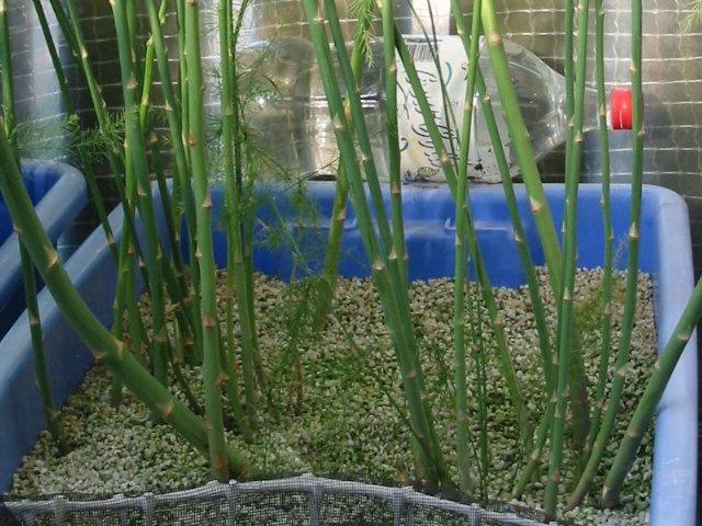 The Asparagus Was Raised From Seed Sown In A Small Container Of Perlite It Grown 20 Litre Bins For First Few Years